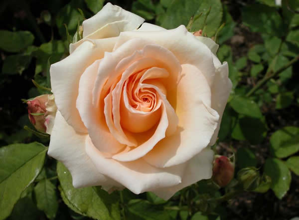 Fotografias de flores rosas (120 fotos de rosas de calidad